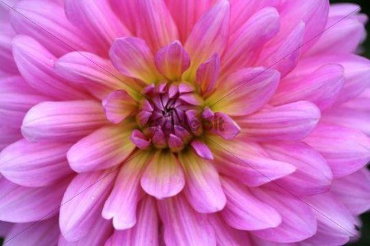 Pink Dahlia flower (Dahlia hybrida)
