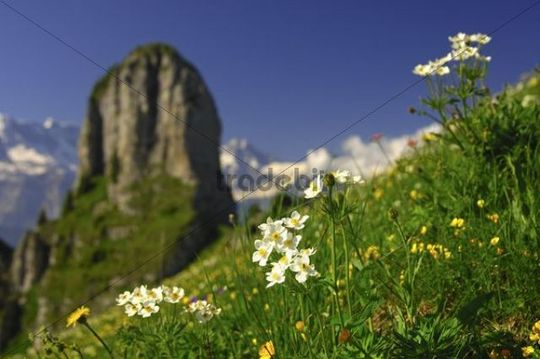 Alpine pasture with blossoming Narcissus-flowered anemones (Anemone narcissiflora) in the Bernese Oberland, Switzerland, Europe