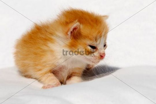 Domestic cat (Felis catus), kitten