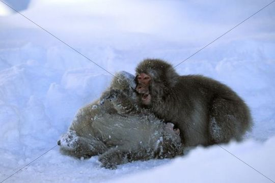 Young Snow Monkeys, Japanese Macaques (Macaca fuscata) playing in snow, snowfall, Japanese Alps, Japan, Asia