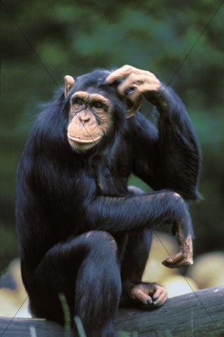 Chimpanzee (Pan troglodytes) scratching its head, Africa