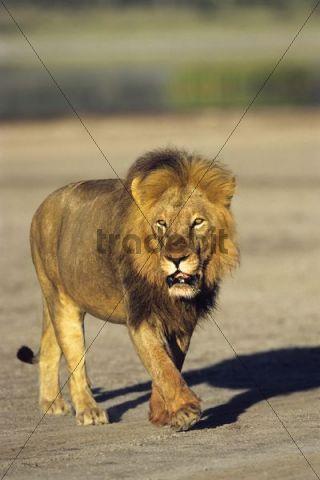 African Lion (Panthera leo), male, Serengeti, Tanzania, East Africa