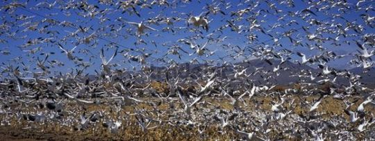 Snow Geese (Anser caerulescens atlanticus) wintering in Bosque del Apache, New Mexico, USA