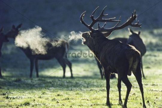 Red Deer (Cervus elaphus) belling, Germany, Europe