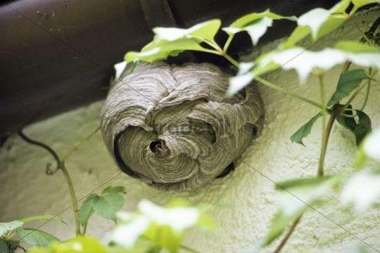 Wasps (Paravespula vulgaris) at nest, Germany, Europe