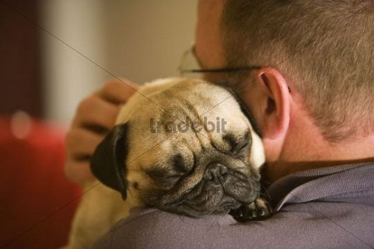 A pug sleeping on his owner´s shoulder