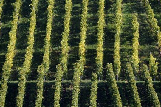 Grapevines, vineyards, Stuttgart, Baden-Wuerttemberg, Germany, Europe