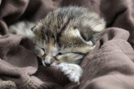 Kitten, European Shorthair cat