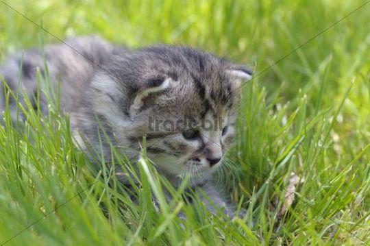 Kitten in the grass, European Shorthair cat