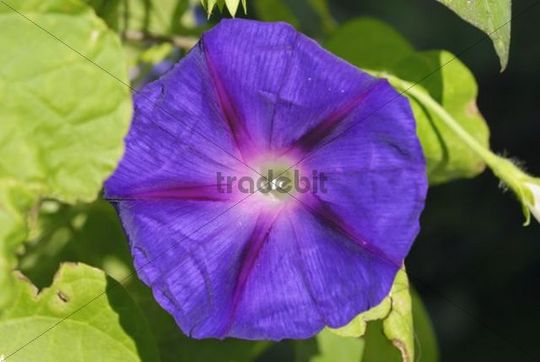 Purple flower of an Ipomoea, Morning Glory (Ipomoea tricolor sp.)