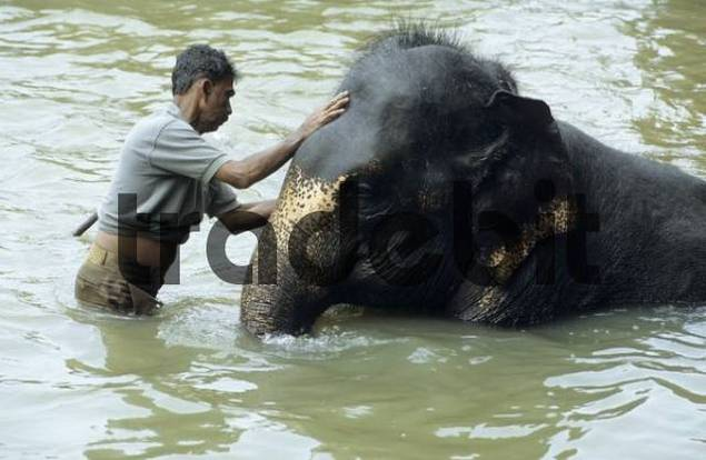 mahout washing his working elephant in a river
