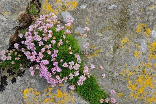Sea thrift (Armeria maritima) and lichen on Fair Isle, Shetland, Scotland, United Kingdom, Europe