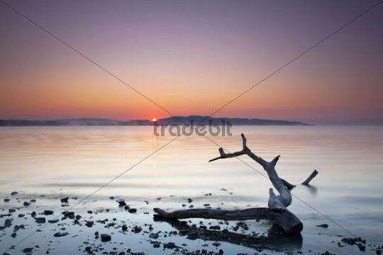 Deadwood on Lake Constance at sunrise, autumn, Germany, Europe