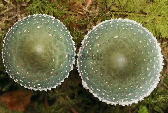 Verdigris agaric (Stropharia aeruginosa)