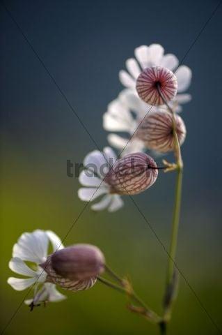 Bladder Campion (Silene vulgaris) in the morning light