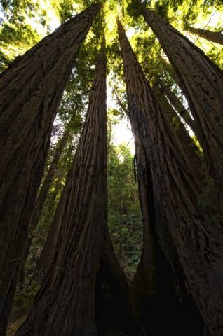 Coast redwoods (Sequoia sempervirens) in the Muir Woods, San Francisco, California, USA