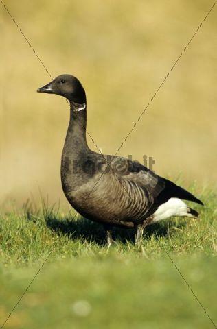 Brant Goose (Branta bernicla), standing in a meadow