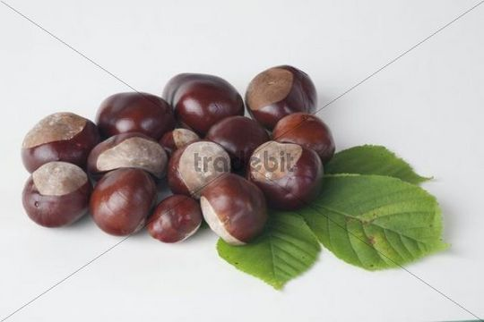 Horse Chestnut (Aesculus hippocastanum), leaf and fruit without capsule