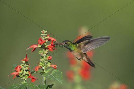 Buff-bellied Hummingbird (Amazilia yucatanenensis), male in flight feeding on Tropical Sage (Salvia coccinea), Sinton, Corpus Christi, Coastal Bend, Texas, USA