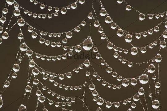 Dew covered spider web, Sinton, Corpus Christi, Coastal Bend, Texas, USA