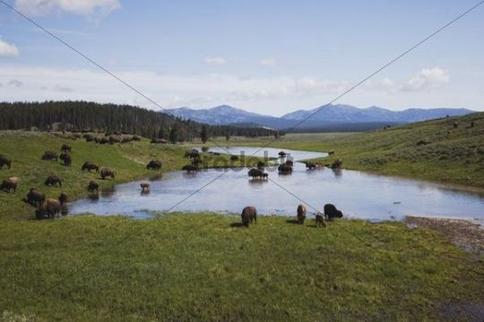 American Bison, Buffalo (Bison bison), herd, Yellowstone National Park, Wyoming, USA