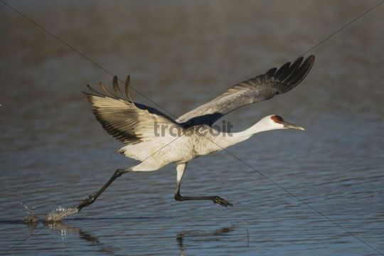 Sandhill Crane (Grus canadensis), adult taking off, Bosque del Apache National Wildlife Refuge, New Mexico, USA