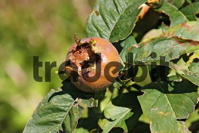 Medlar Mespilus germanica