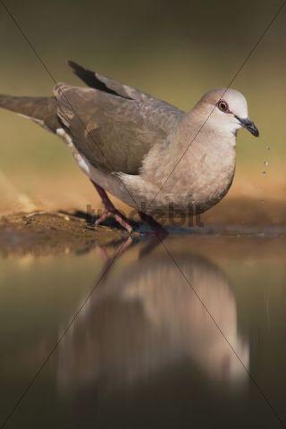 White-tipped Dove (Leptotila verreauxi), adult drinking, Rio Grande Valley, Texas, USA