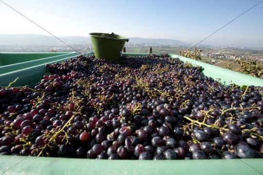 Harvest of red wine grapes in the Rems valley, Baden-Wuerttemberg, Germany, Europe