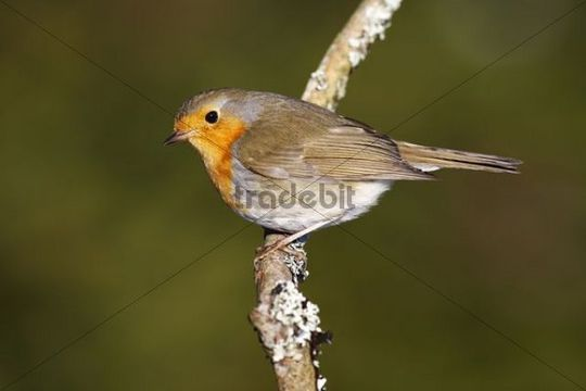 Robin (Erithacus rubecula) sitting on a branch