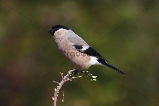 Bullfinch (Pyrrhula), female sitting on a plant