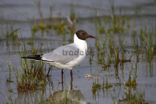Black-headed gull (Larus ridibundus) in breeding plumage standing in shallow water