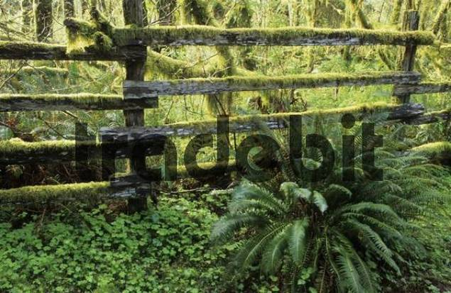 wooden fence overgrown with moss in Olympic National Park