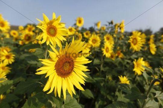 Sunflowers, sunflower (Helianthus annuus)