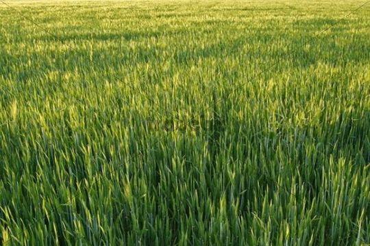 Cereal crops, field of immature Rye (Secale cereale)