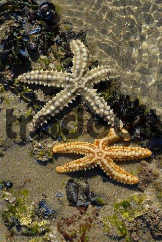 two starfish searching food blue mussel mytilus