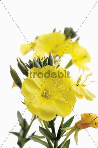 Evening Primrose or Evening Star (Oenothera biennis), medicinal plant