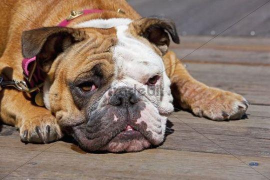 French Bulldog, San Francisco, California, USA, America