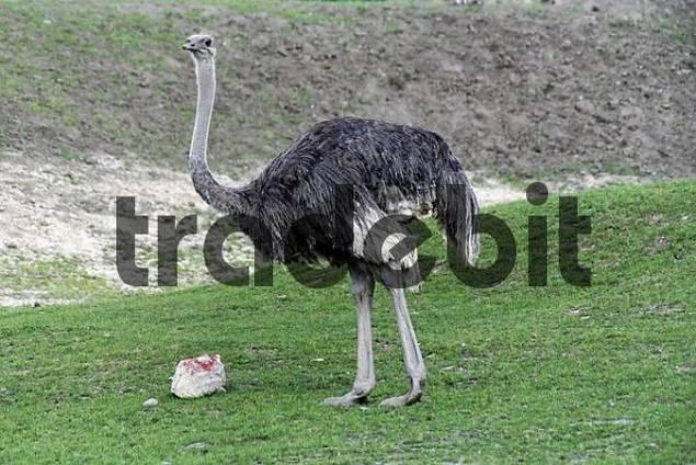 ostrich Struthio camelus,