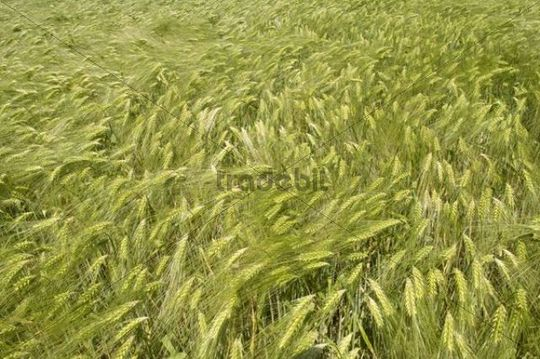 Barley field, Kamen, Ruhr area, North Rhine-Westphalia, Germany, Europe