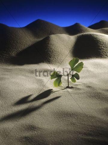 Durable Ginkgo (Ginkgo biloba) sapling in a desert landscape