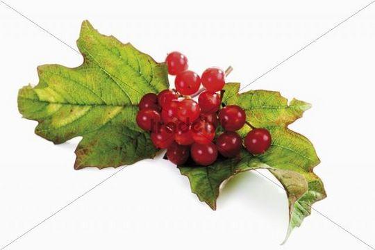 Guelder Rose, Water Elder, European Cranberrybush, Cramp Bark or Snowball Tree (Viburnum opulus), seed head