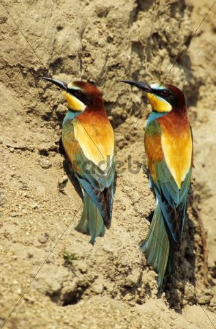 European Bee-eater (Merops apiaster), pair sitting on a mud wall in which they have dug their nests, Burgenland, Austria, Europe