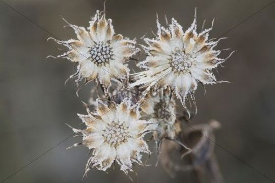 Flower Seeds, frost covered, Angier, North Carolina, USA