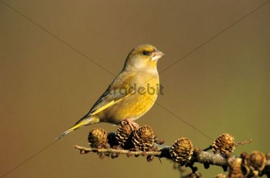 Greenfinch (Carduelis chloris), male sitting on a pine branch