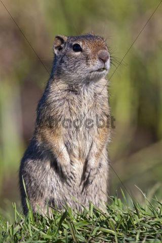 Uinta ground squirrel (Spermophilus armatus), Grand Teton National Park, Wyoming, America, United States
