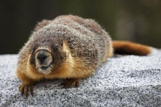 Groundhog woodchuck or whistle pig marmota monax for Woodchuck usa
