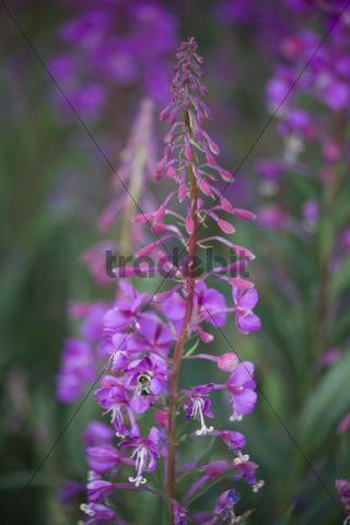 Blooming Fireweed, Rosebay Willowherb (Epilobium angustifolium), Bumblebee, Bumble bee (Bombus)