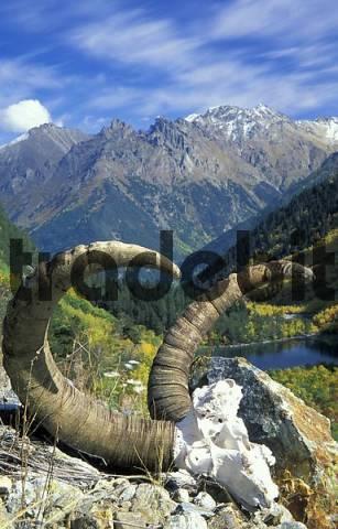 Skull and horns of the Caucasian Tur. Caucasus, Teberdinskiy National Park, Russia