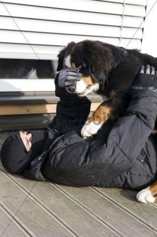 Watchdog overwhelming a burglar